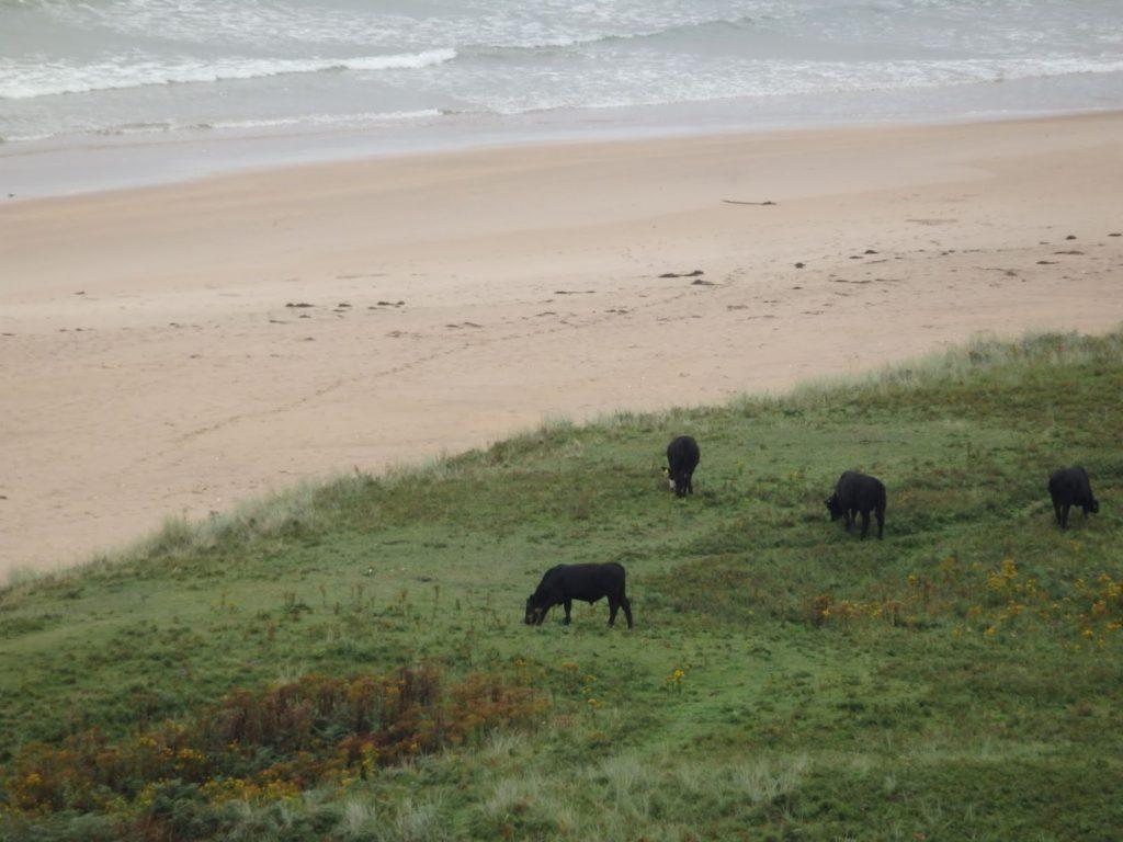 Vacas junto a la playa en Irlanda del Norte