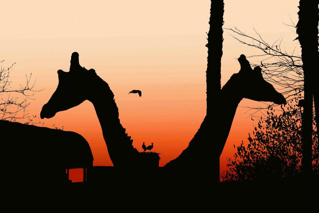 Jirafas al atardecer en el Zoo Aquarium de Madrid.