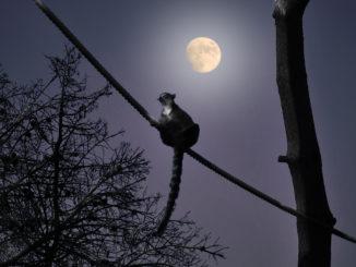 Un lemur a la luz de la luna de Madrid. Autor: Zoo Aquarium Madrid.