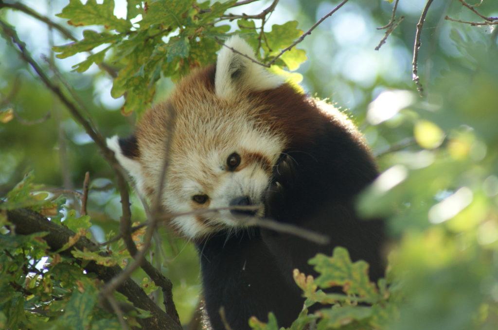 Un ejemplar de oso panda rojo. Autor: Zoo Aquarium de Madrid.