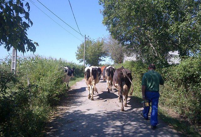 Vacas en el camino francés entre Palas del Rei y Arzúa