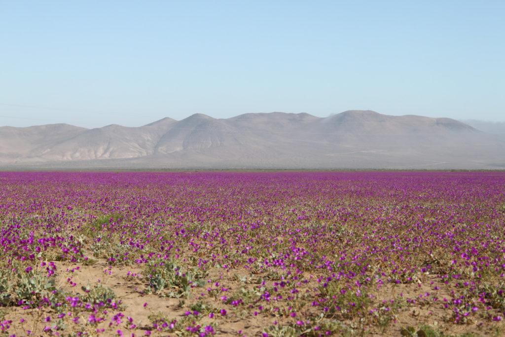 Desiesto de Atacama. Cortersía Chile Travel.